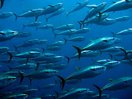 tuna day